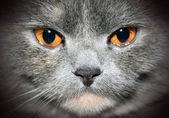 Cat closeup portrait — Stock Photo