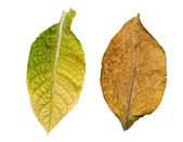 Tobacco leaves isolated — Stock Photo