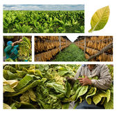 Growing and drying tobacco — Stock Photo