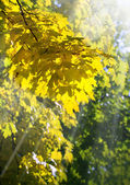 Golden tree foliage — Stock Photo