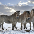 Fjord horses — Stock Photo #7804582