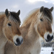 Fjord horses — Stock Photo #7828780