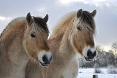 Fjord horses — Stock Photo