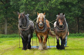 Belgian Horses — Stock Photo