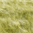 Wheat field — Stock Photo #6748916