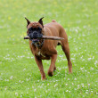 Boxer dog — Stock Photo #7147898