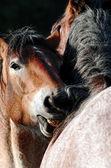 Deux chevaux — Photo