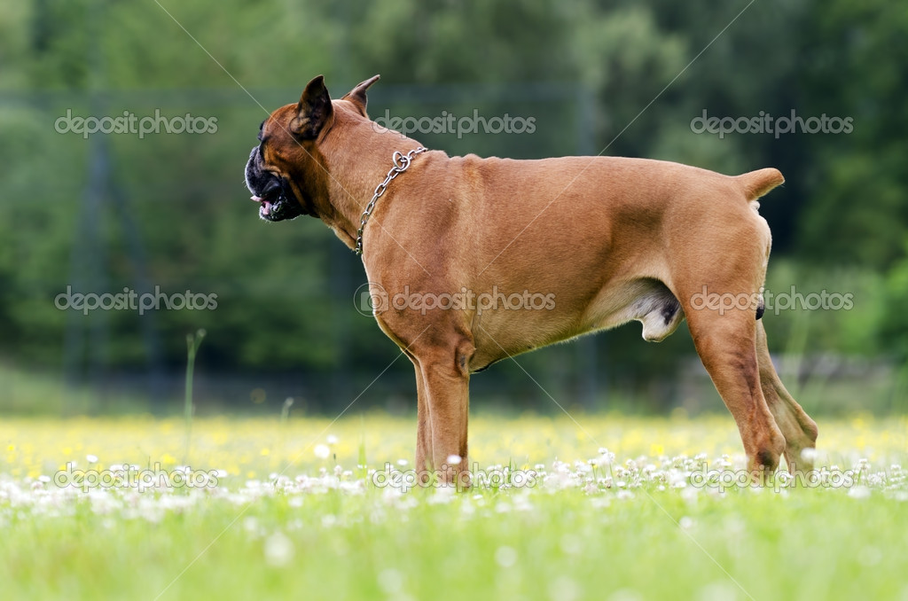 A boxer dog — Stock Photo #7185087