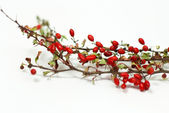Red barberry on a white background — Stock Photo