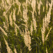 Fluffy Plants In Field — Stockfoto