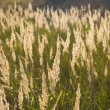 Fluffy Plants In Field — Foto Stock