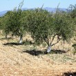 Olive grove. — Stock Photo #7140023