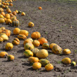 Pumpkin crop. — Stock Photo