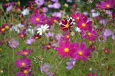 Kosmey (Cosmos) autumn flowers in a garden. — Stock Photo