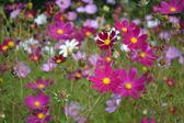 Kosmey (Cosmos) autumn flowers in a garden. — Stock Photo