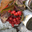 Red guelder-rose. — Stockfoto