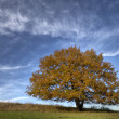 Stock Photo: Oak Beerwalde 03