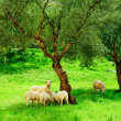 Stock Photo: Flock of sheep on green grass