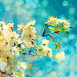 Cherry flowers on grunge background — Stock Photo
