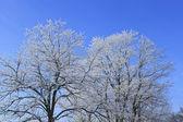 Frost winter tree — Stock Photo