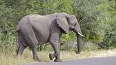 Elephant — Stok fotoğraf