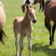 Stock Photo: Young horse foal