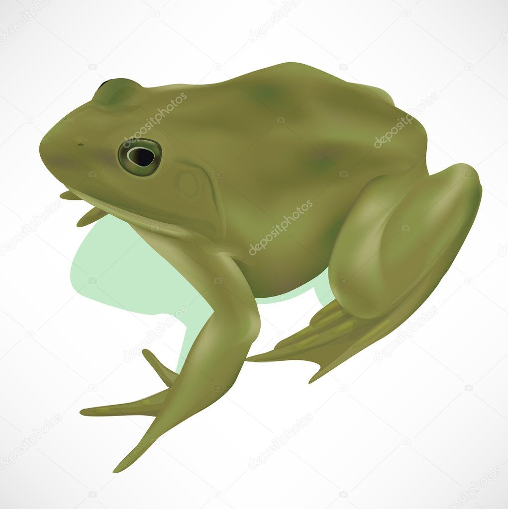 Green realistic frog isolated on white — Stock Vector #6816275