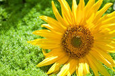 美しい黄色のヒマワリ — ストック写真