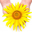 Stock Photo: Sunflower in the hands