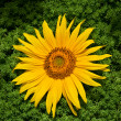 Stock Photo: Beautiful yellow sunflower