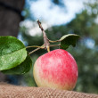 Fresh apple in the garden — Stock Photo