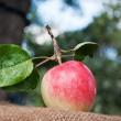 Fresh apple in the garden — Stock Photo