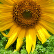Beautiful yellow sunflower - Stock Photo