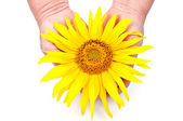 Sunflower in the hands — Stock Photo