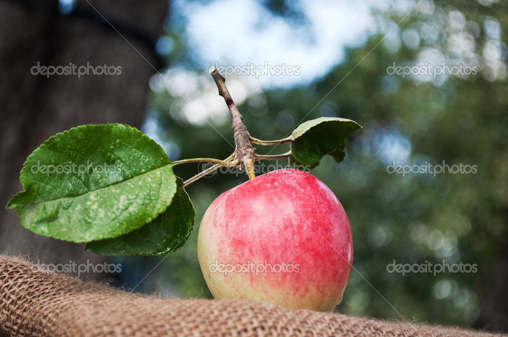 Organic apples in the garden on the old tissue  Stock Photo #6837235