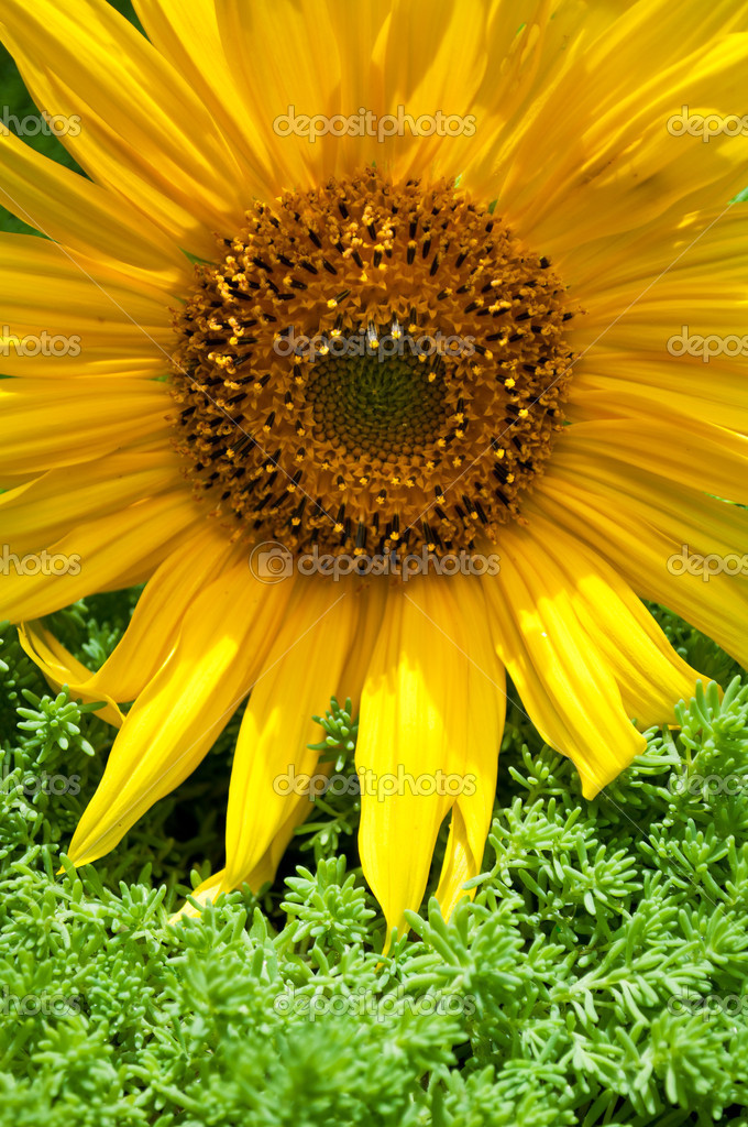 Beautiful yellow sunflower and green grass on a background — Stock Photo #6838949