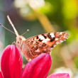 Butterfly on flower — Foto de stock #7000298