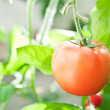 Tomato in the greenhouse — Stock Photo