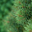 Stock Photo: Fir-tree background