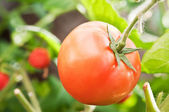 One juicy and ripe tomato — Stock Photo
