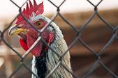 Coq domestique — Photo