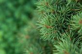 Fir-tree background — Stock Photo