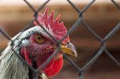 Domestic cock — Stock Photo