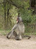 African male baboon yawning — Stock Photo