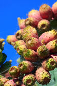 Red prickly pear cactus fruits — Stock Photo