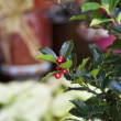 Holly tree — Stock Photo