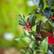 Holly tree - Stock Photo