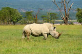 Rhinoceros in the wild — Stock Photo