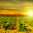 Bright sunset at vineyard — Stock Photo #6844130