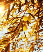 Olive tree branch at warm autumn sunset — Stock Photo